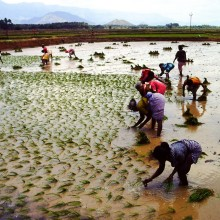 Paddy plants are transplanted mannually