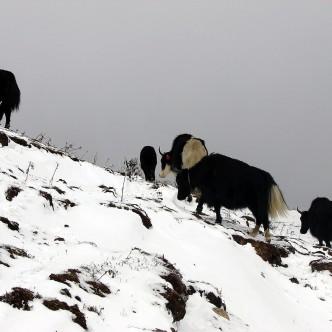 Yaks zwischen Sandakphu und Phalut