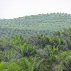 Öl auf der Palme
