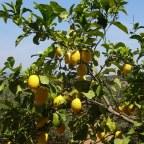 Der imaginäre Zitronenwald